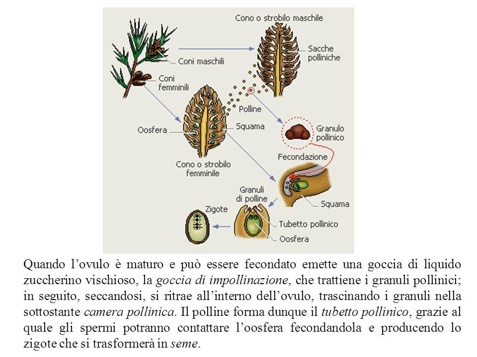 Quando l'ovulo è maturo e può essere fecondato emette una goccia di liquido zuccherino vischioso, la goccia di impollinazione, che trattiene i granuli pollinici; in seguito, seccandosi, si ritrae all'interno dell'ovulo, trascinando i granuli nella sottostante camera pollinica.