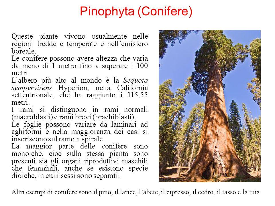Pinophyta (Conifere) Queste piante vivono usualmente nelle regioni fredde e temperate e nell'emisfero boreale.