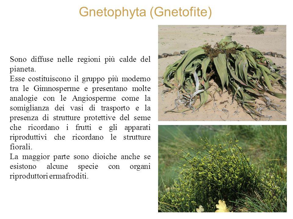 Gnetophyta (Gnetofite)