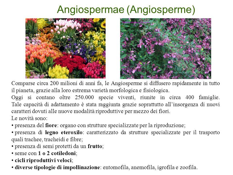 Angiospermae (Angiosperme)