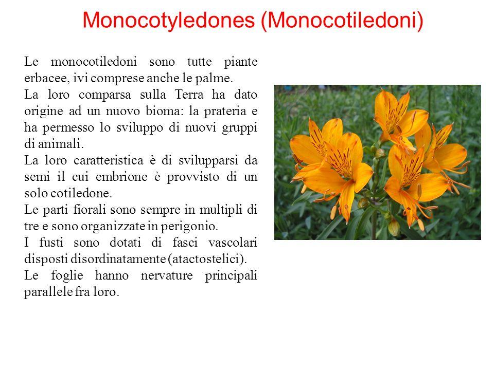 Monocotyledones (Monocotiledoni)