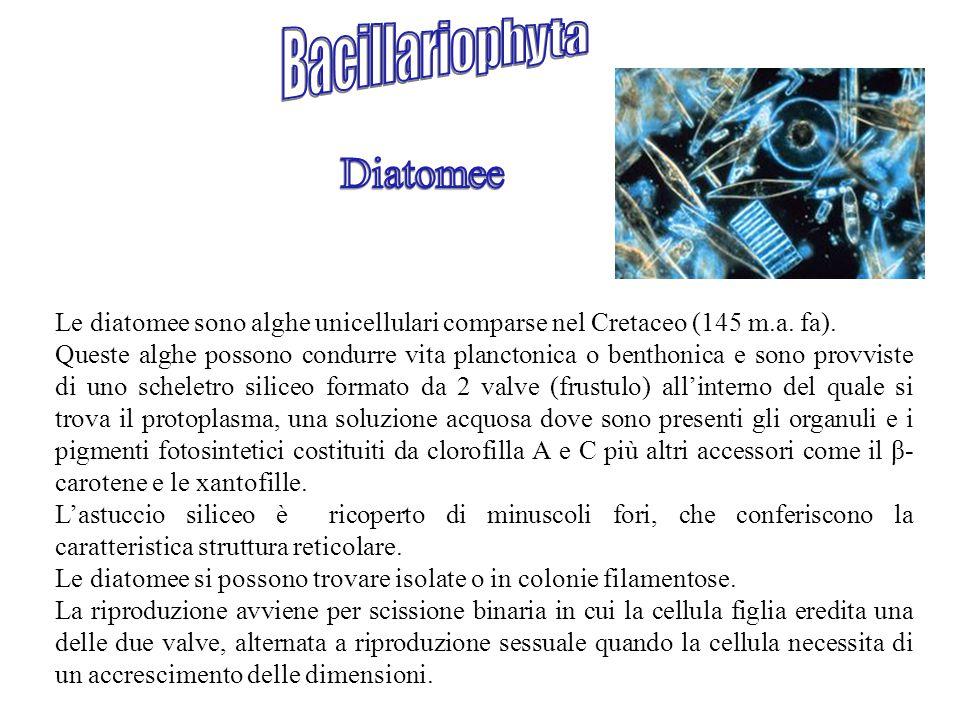 Bacillariophyta Diatomee