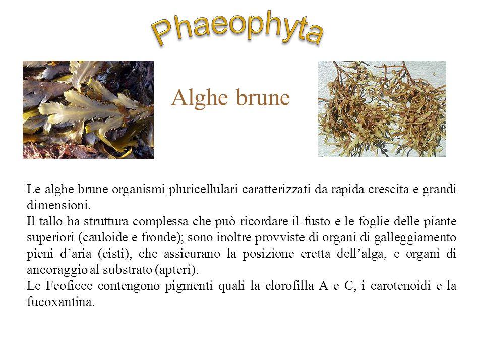 Phaeophyta Alghe brune