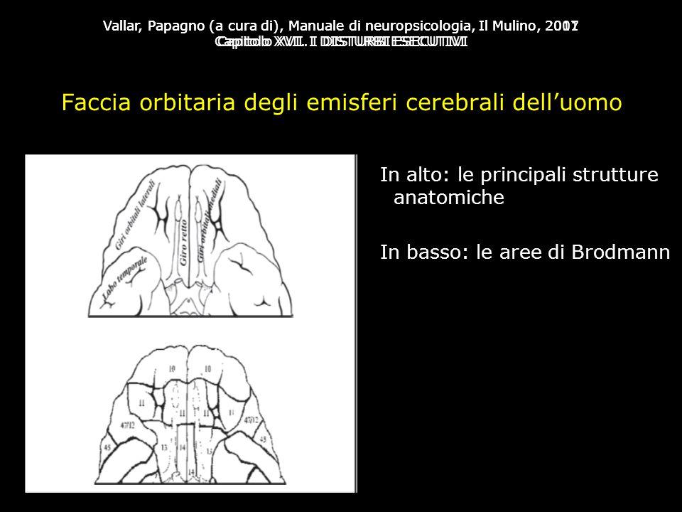 Faccia orbitaria degli emisferi cerebrali dell'uomo