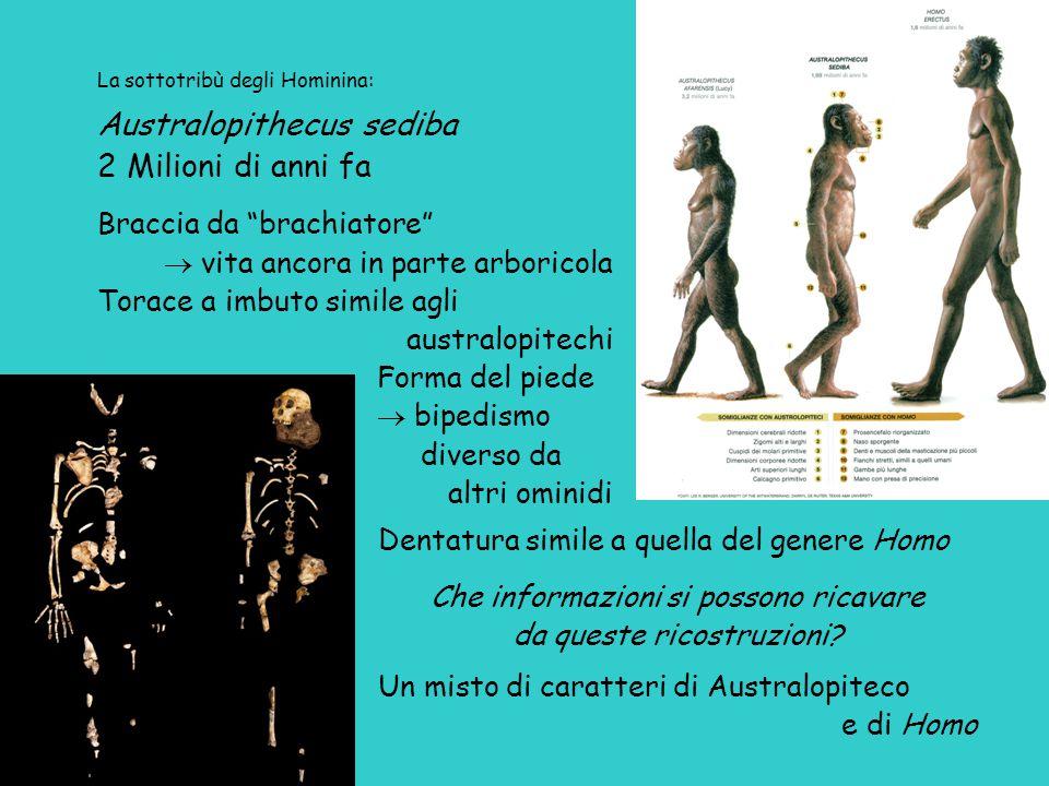 Australopithecus sediba 2 Milioni di anni fa