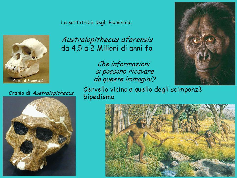 Australopithecus afarensis da 4,5 a 2 Milioni di anni fa