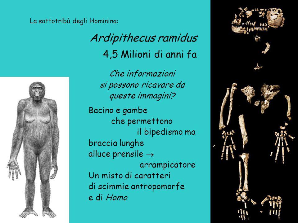 Ardipithecus ramidus 4,5 Milioni di anni fa Che informazioni