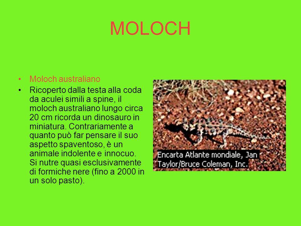 MOLOCH Moloch australiano