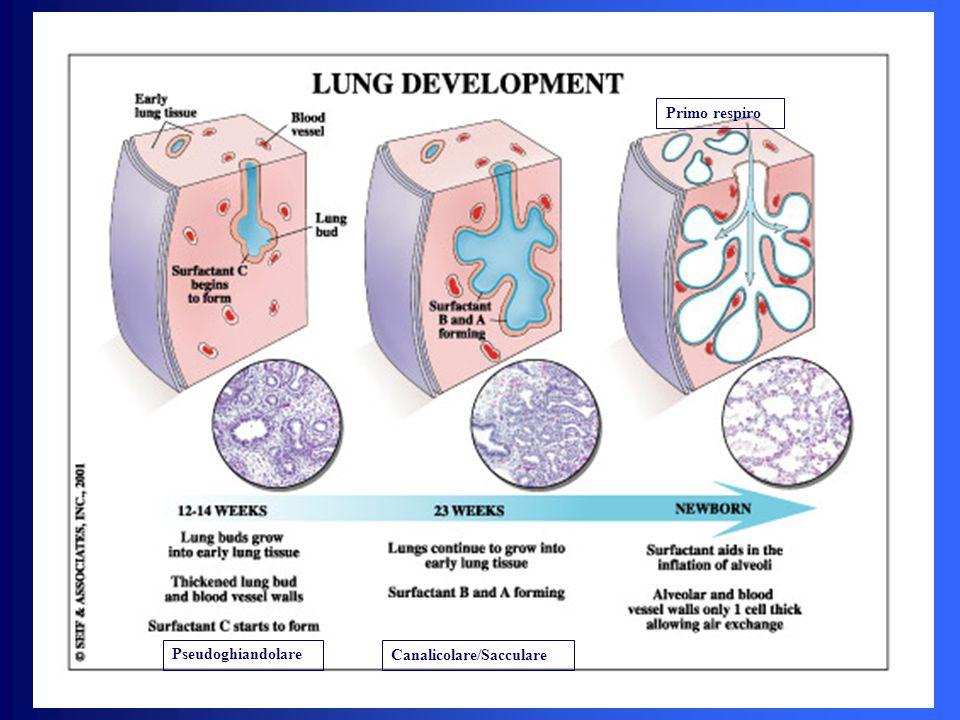 Primo respiro Pseudoghiandolare Canalicolare/Sacculare