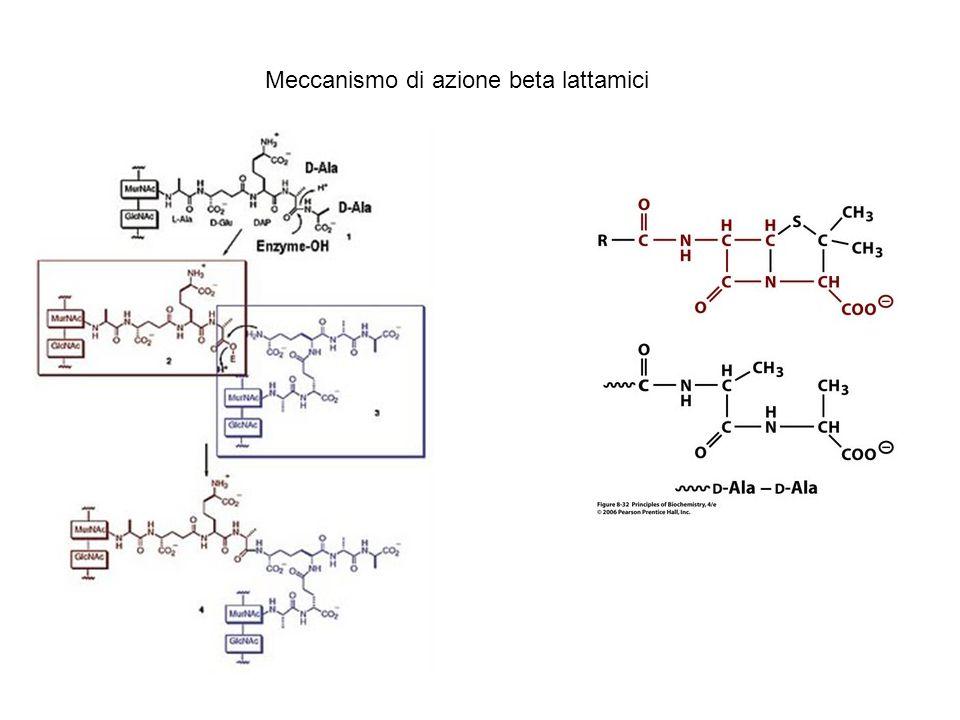 Meccanismo di azione beta lattamici