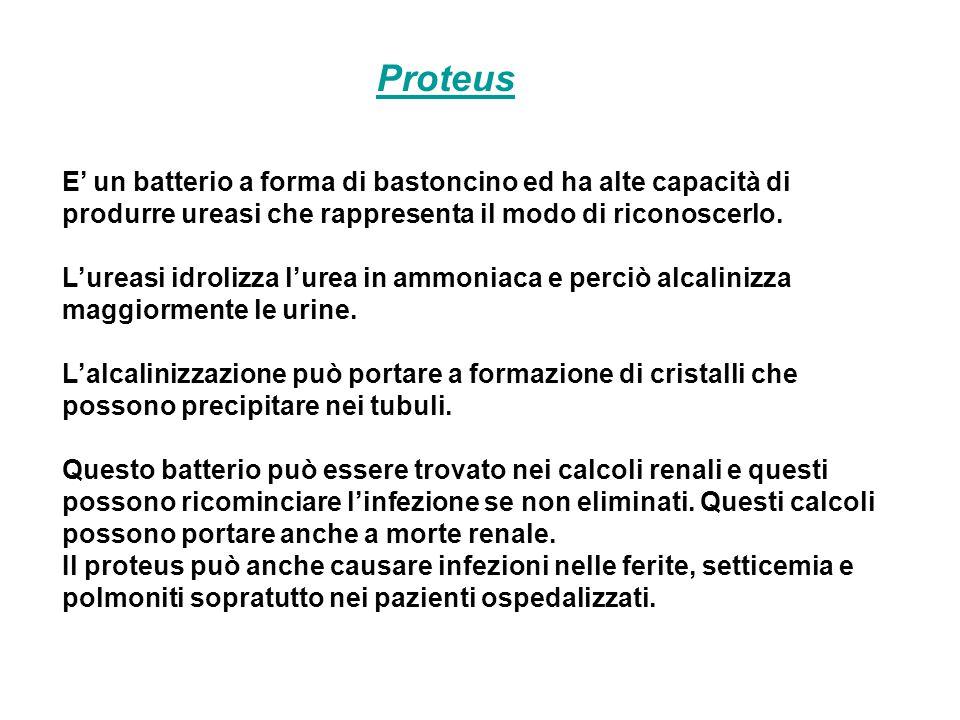 Proteus E' un batterio a forma di bastoncino ed ha alte capacità di produrre ureasi che rappresenta il modo di riconoscerlo.