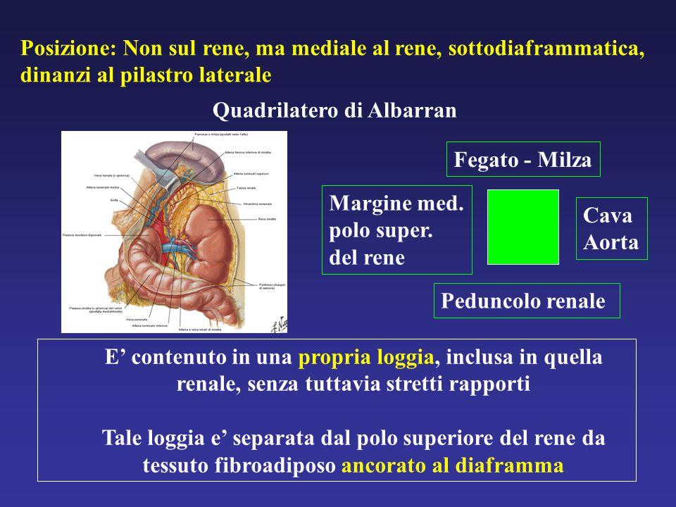 Posizione: Non sul rene, ma mediale al rene, sottodiaframmatica, dinanzi al pilastro laterale