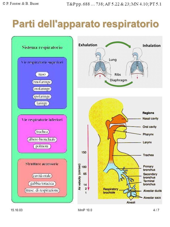 Parti dell apparato respiratorio