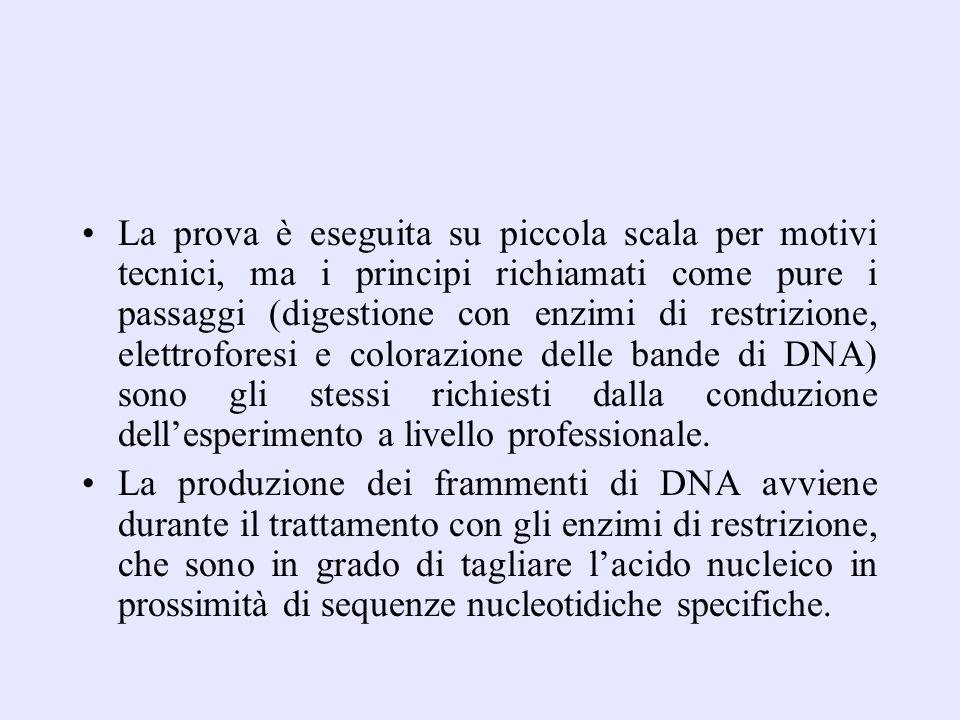 La prova è eseguita su piccola scala per motivi tecnici, ma i principi richiamati come pure i passaggi (digestione con enzimi di restrizione, elettroforesi e colorazione delle bande di DNA) sono gli stessi richiesti dalla conduzione dell'esperimento a livello professionale.