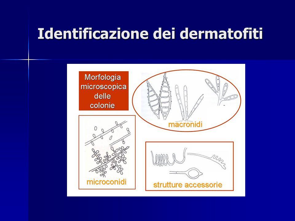 Identificazione dei dermatofiti