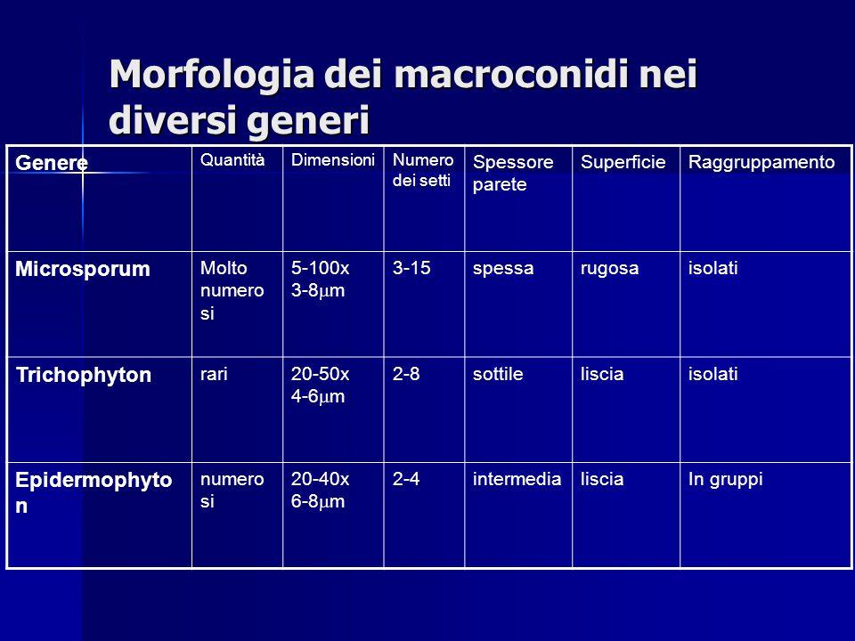 Morfologia dei macroconidi nei diversi generi