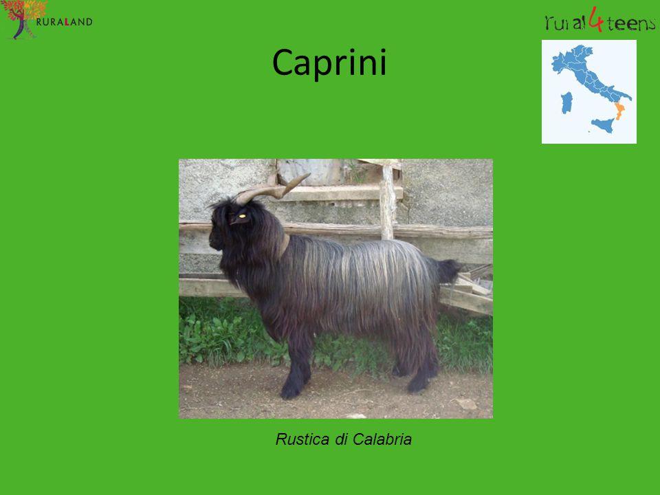 Caprini Rustica di Calabria