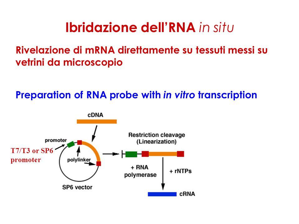 Ibridazione dell'RNA in situ