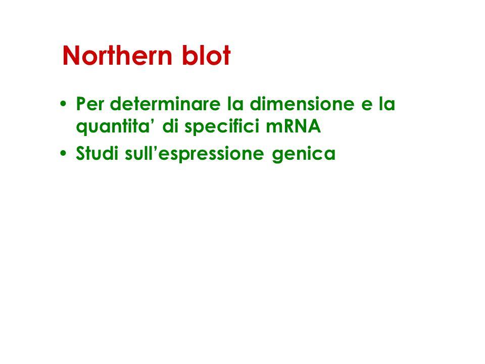 Northern blot Per determinare la dimensione e la quantita' di specifici mRNA.