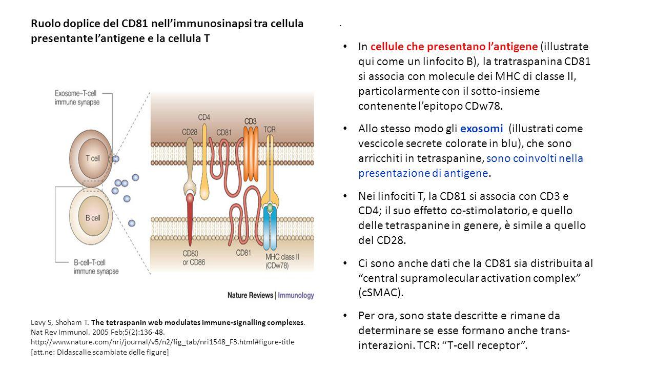 Ruolo doplice del CD81 nell'immunosinapsi tra cellula presentante l'antigene e la cellula T