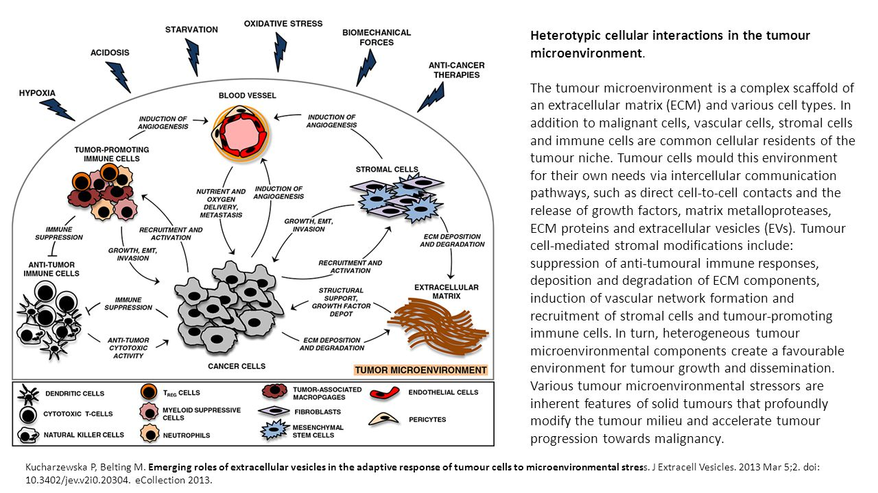 Heterotypic cellular interactions in the tumour microenvironment.