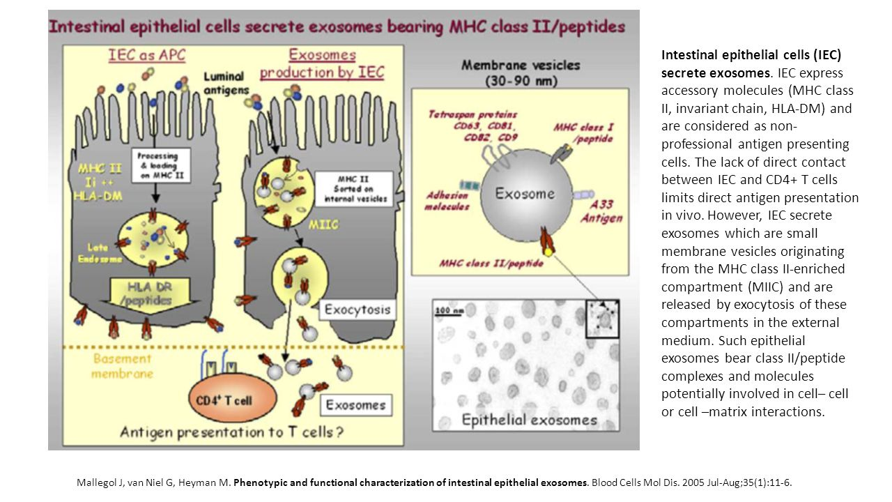 Intestinal epithelial cells (IEC) secrete exosomes