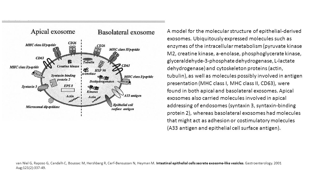 A model for the molecular structure of epithelial-derived exosomes