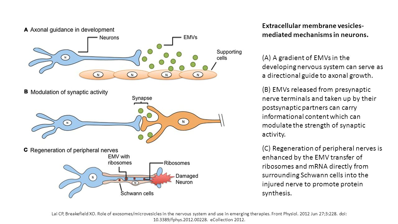 Extracellular membrane vesicles-mediated mechanisms in neurons.