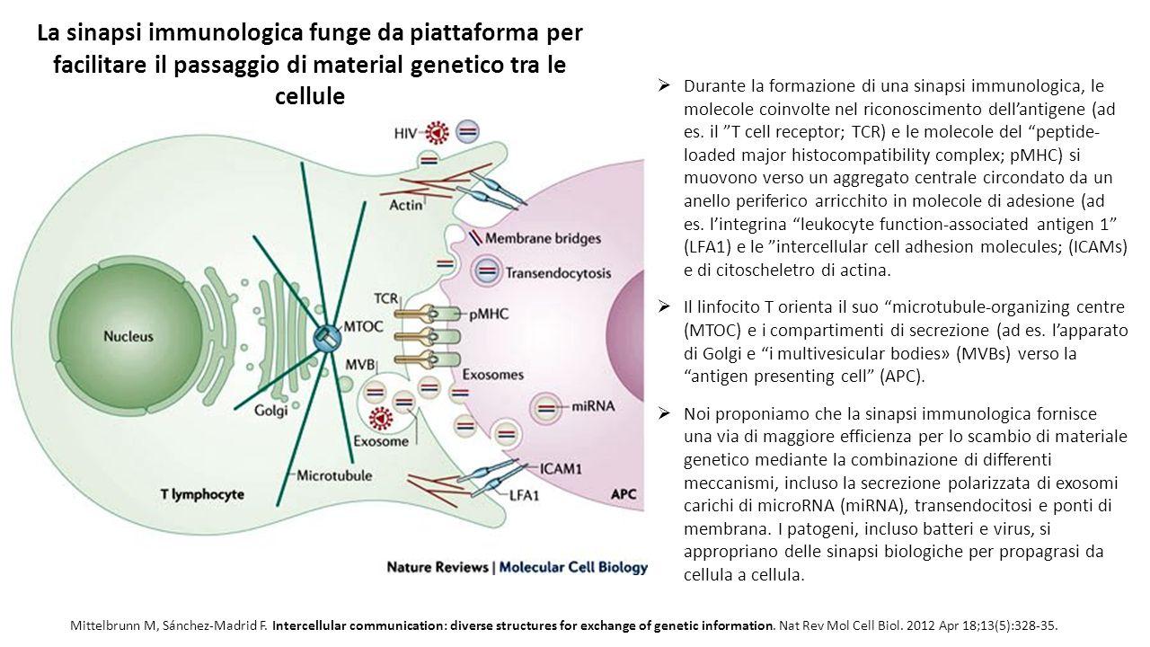 La sinapsi immunologica funge da piattaforma per facilitare il passaggio di material genetico tra le cellule