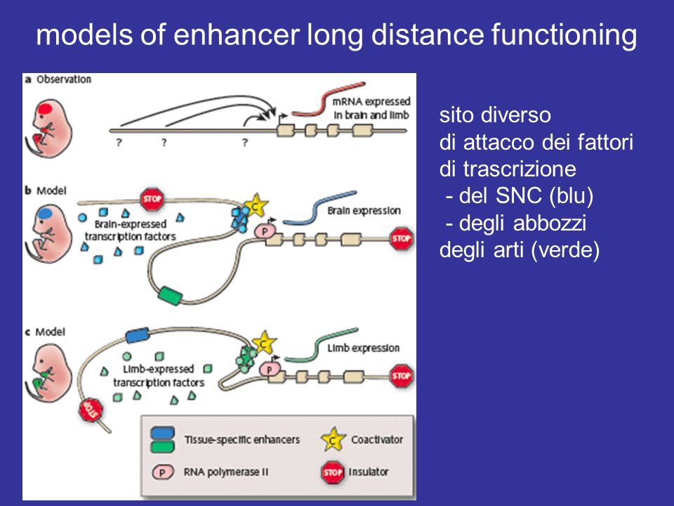 models of enhancer long distance functioning