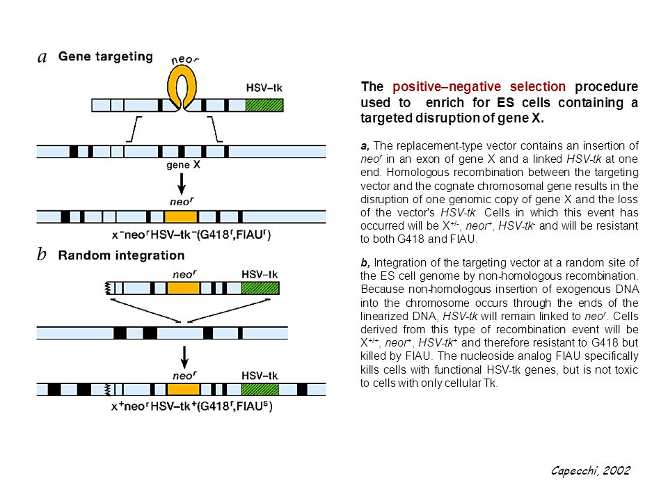 The positive–negative selection procedure used to enrich for ES cells containing a targeted disruption of gene X.