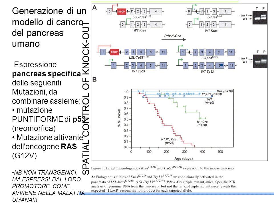 Generazione di un modello di cancro del pancreas umano