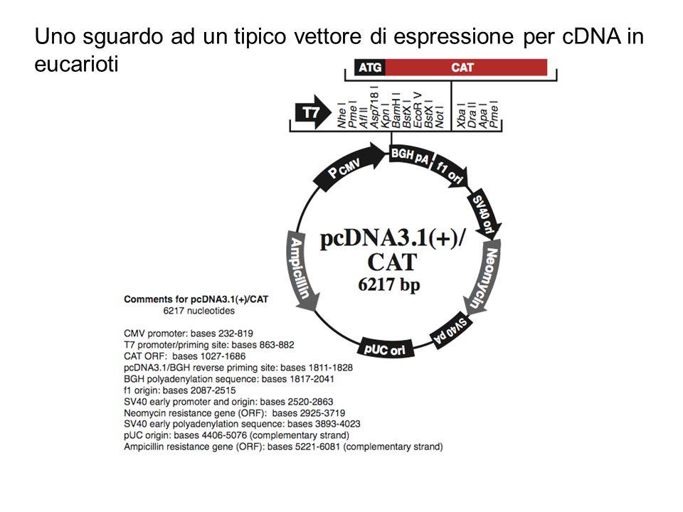 Uno sguardo ad un tipico vettore di espressione per cDNA in eucarioti