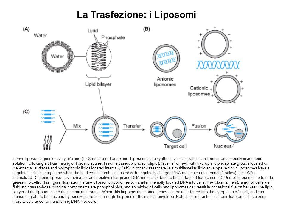 La Trasfezione: i Liposomi