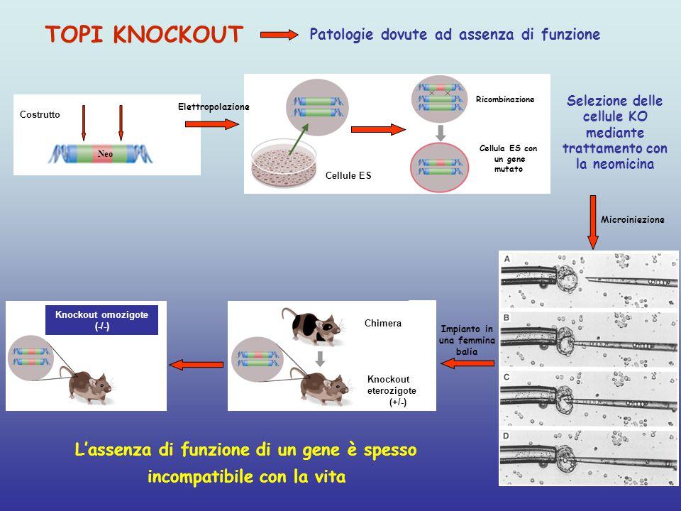 Selezione delle cellule KO mediante trattamento con la neomicina
