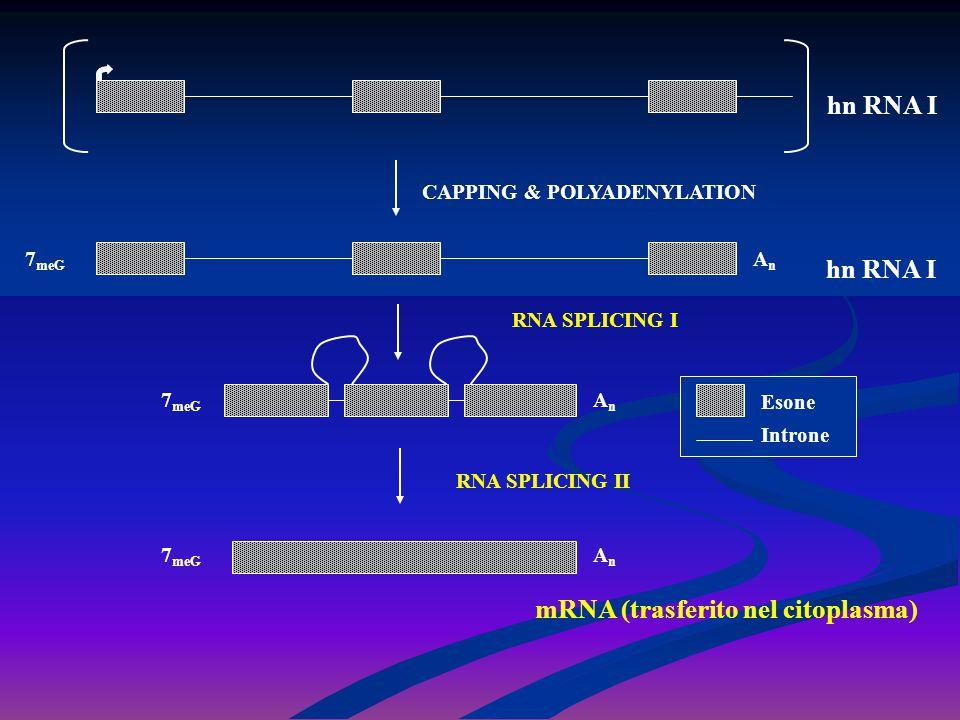 mRNA (trasferito nel citoplasma)