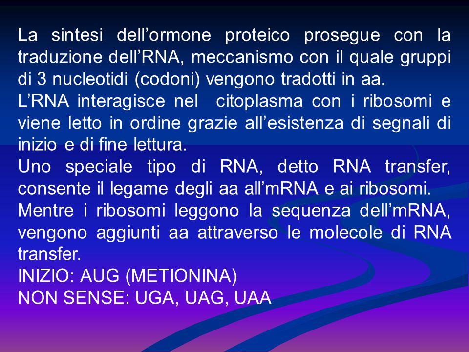 La sintesi dell'ormone proteico prosegue con la traduzione dell'RNA, meccanismo con il quale gruppi di 3 nucleotidi (codoni) vengono tradotti in aa.