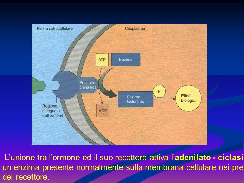 L'unione tra l'ormone ed il suo recettore attiva l'adenilato - ciclasi, un enzima presente normalmente sulla membrana cellulare nei pressi del recettore.