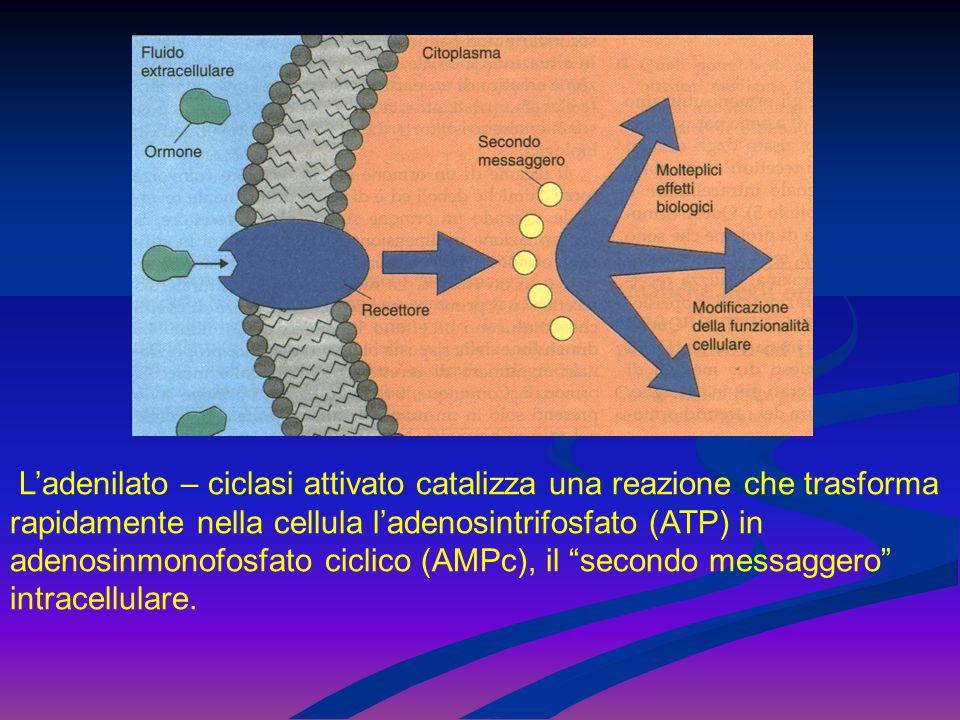 L'adenilato – ciclasi attivato catalizza una reazione che trasforma rapidamente nella cellula l'adenosintrifosfato (ATP) in adenosinmonofosfato ciclico (AMPc), il secondo messaggero intracellulare.