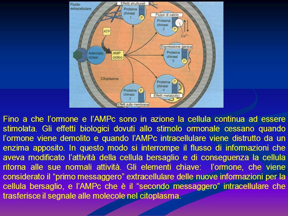 Fino a che l'ormone e l'AMPc sono in azione la cellula continua ad essere stimolata.