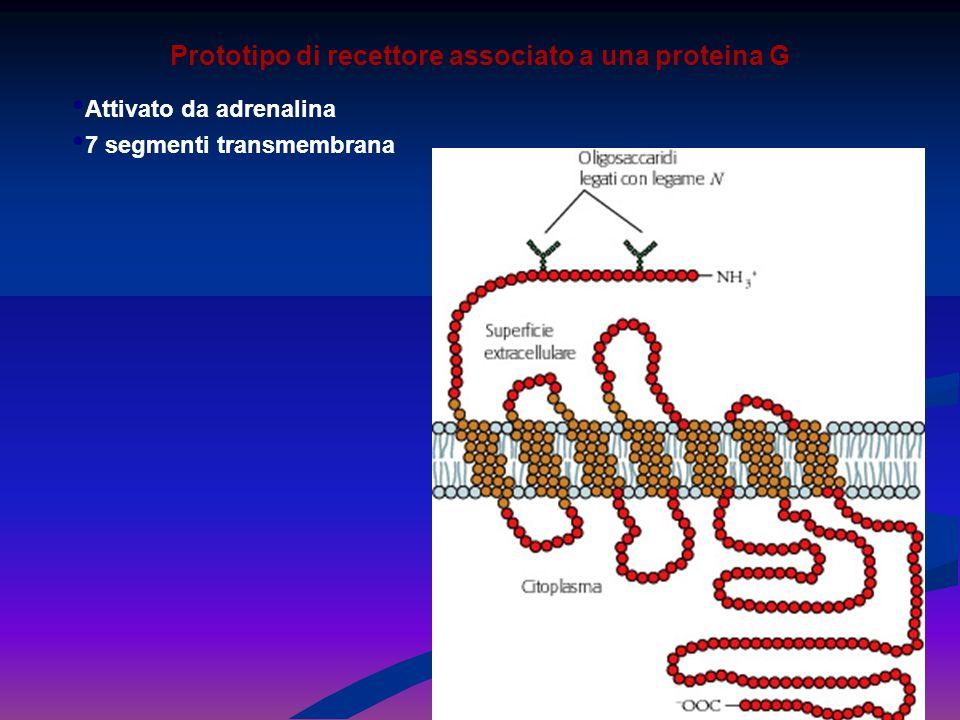 Prototipo di recettore associato a una proteina G