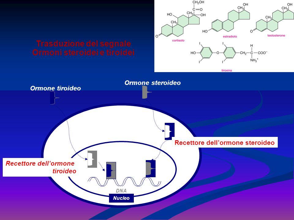 Trasduzione del segnale Ormoni steroidei e tiroidei