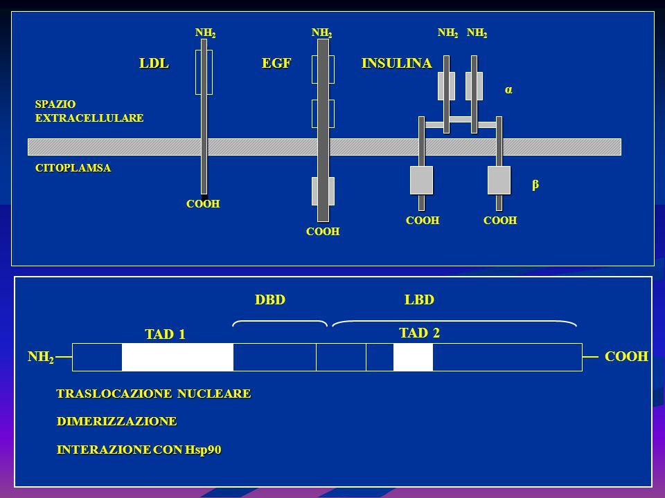 LDL EGF INSULINA DBD LBD TAD 1 TAD 2 NH2 COOH α β