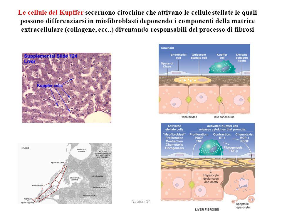 Le cellule del Kupffer secernono citochine che attivano le cellule stellate le quali possono differenziarsi in miofibroblasti deponendo i componenti della matrice extracellulare (collagene, ecc..) diventando responsabili del processo di fibrosi