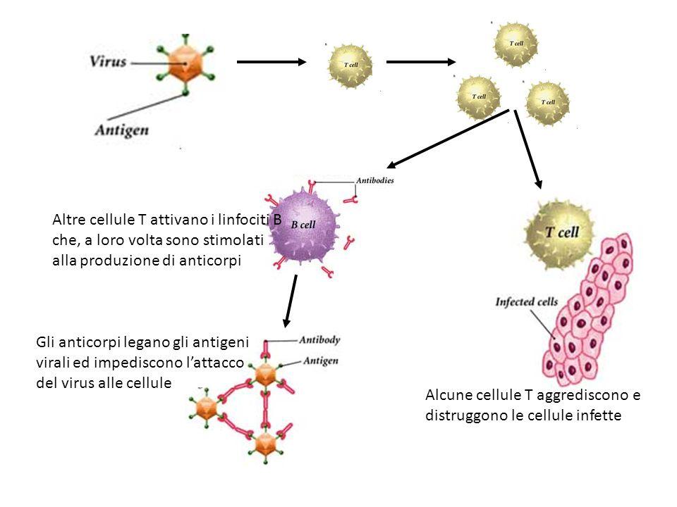 Altre cellule T attivano i linfociti B che, a loro volta sono stimolati alla produzione di anticorpi
