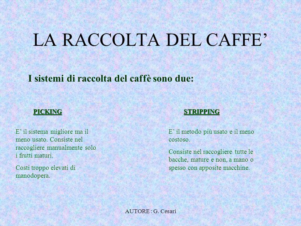 LA RACCOLTA DEL CAFFE' I sistemi di raccolta del caffè sono due: