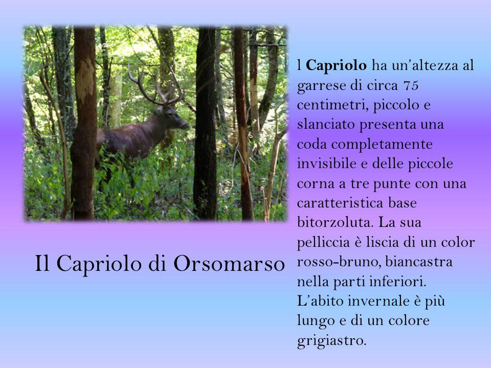 Il Capriolo di Orsomarso