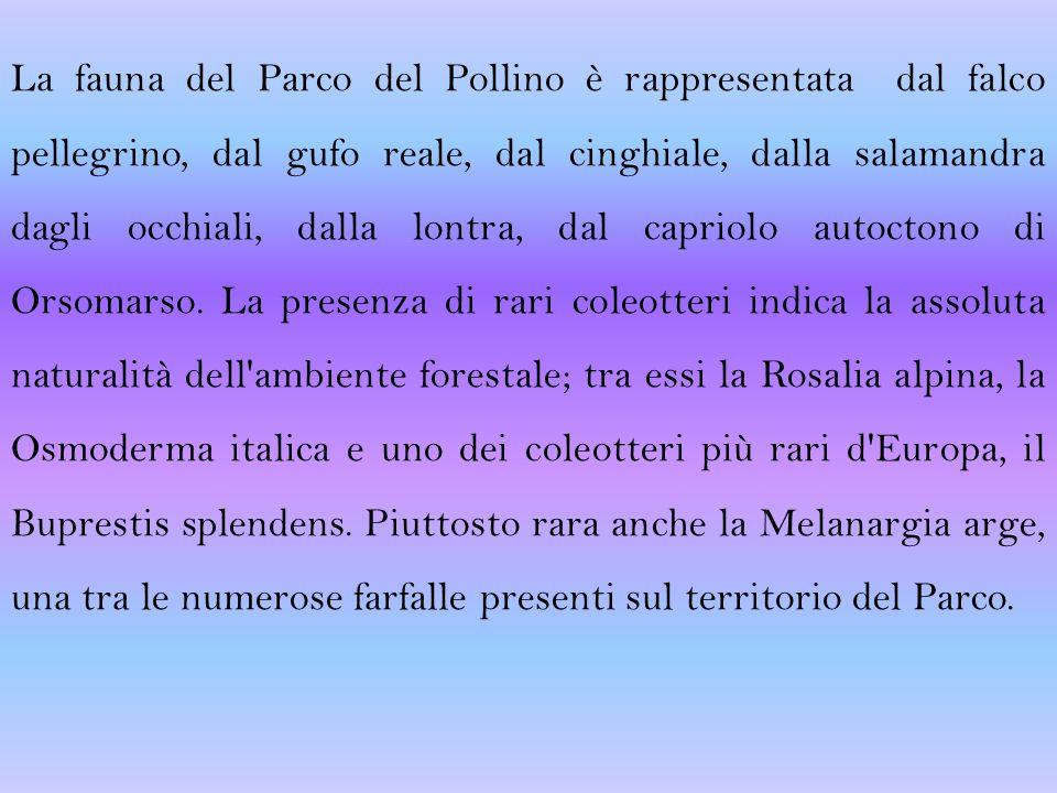 La fauna del Parco del Pollino è rappresentata dal falco pellegrino, dal gufo reale, dal cinghiale, dalla salamandra dagli occhiali, dalla lontra, dal capriolo autoctono di Orsomarso.