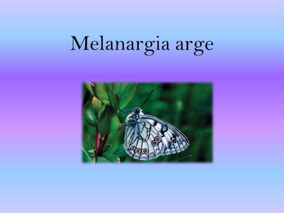 Melanargia arge