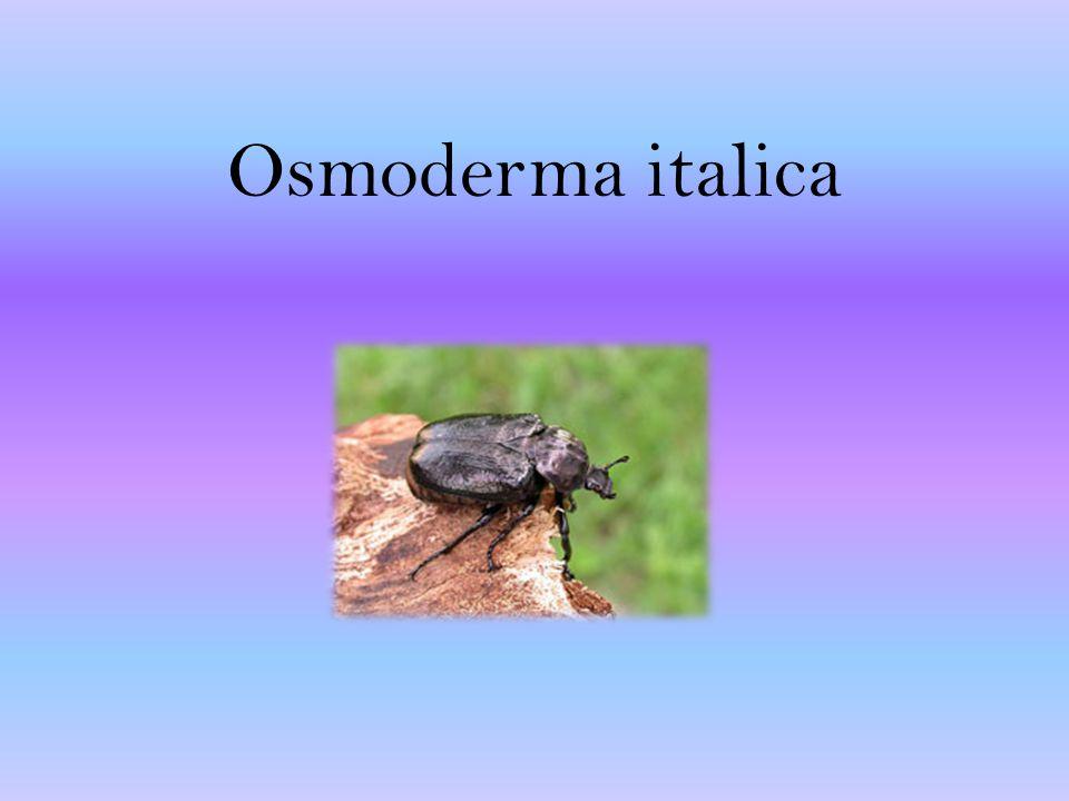 Osmoderma italica